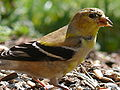 American Goldfinch-27527-2.jpg