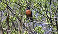 American Robin, Issaquah Washington.jpg