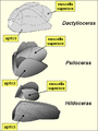 Ammonoids Jaws.PNG
