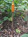Amorphophallus paeoniifolius 12762866.jpg