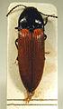 Ampedus pomorum.jpg