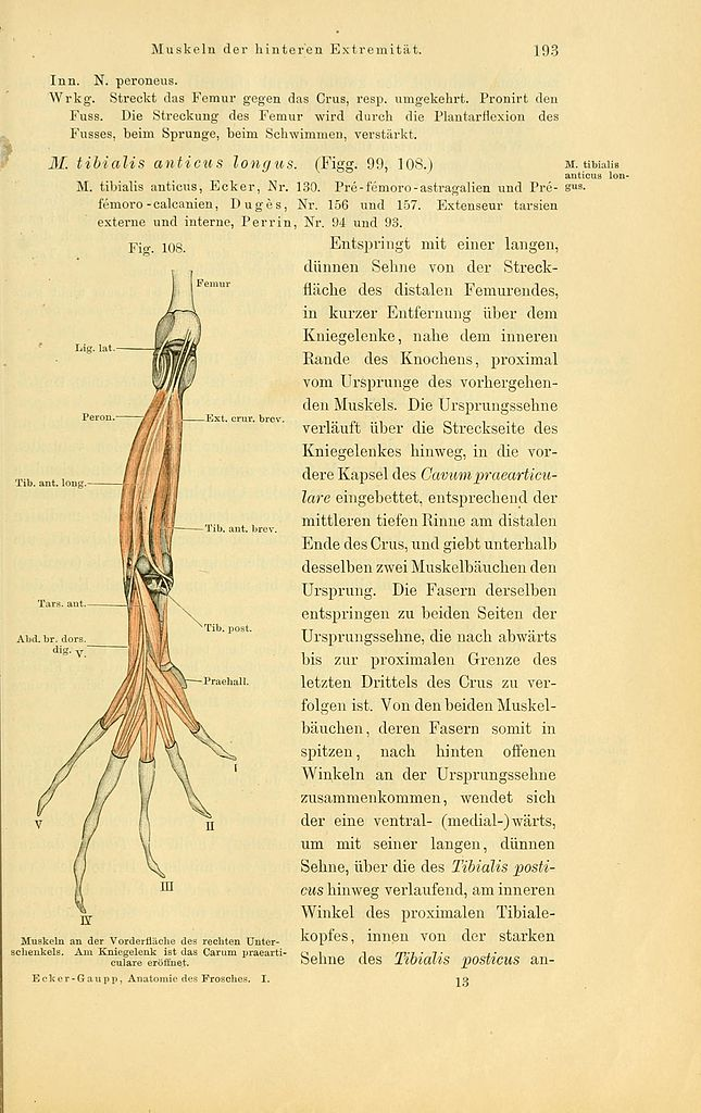 File:Anatomie des Frosches (Page 193, Fig. 108) BHL4404792.jpg ...