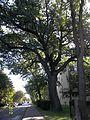 Ancient OAK TREE, in Brwinow Poland, located on Pszczelinska nr.6-8, zip code 05-840 named LOTAN, in Hebrew ( Dragon ).JPG