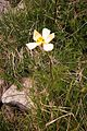 Anemonastrum narcissiflorum (8414011026).jpg