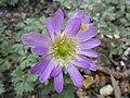 Anemone blanda 'Violet Star' (Ranunculaceae) flower.jpg