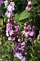Angelonia angustifolia Pink & Purple 2zz.jpg