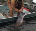 Angler has paddlefish by rostrum.png