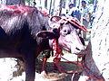 Animal killing.jpg