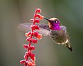 Anna's Hummingbird (25926970788).jpg