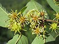 Anogeissus latifolia at Masinagudi (3).jpg
