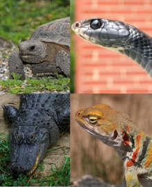 A collage of four reptile images: a gopher tortoise in the upper left corner, a garter snake in the upper right, a collared lizard in the lower right, and an American alligator in the bottom left.