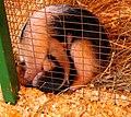 Anteater baby (121694319).jpg