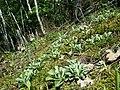Antennaria dioica sl65.jpg