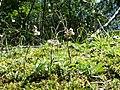 Antennaria dioica sl67.jpg