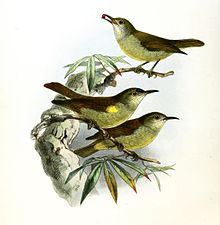 Anthreptes simplex Keulemans.jpg