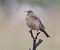 Anthus nyassae, Cuanavale-rivier, Birding Weto, a.jpg