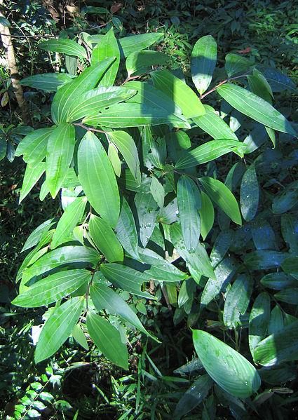 പ്രമാണം:Apama siliquosa.jpg
