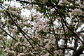 Apple-blossoms - West Virginia - ForestWander.jpg