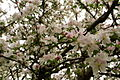 Apple-tree-flowers-blooms - West Virginia - ForestWander.jpg