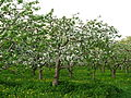 Apple orchard Moscow State University 05.JPG