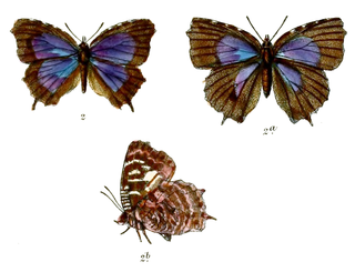 <i>Apporasa</i> genus of insects