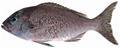 Apsilus dentatus - pone.0010676.g081.png