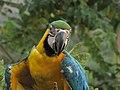 Ara ararauna (Guacamaya azul y amarilla) (14053256655).jpg