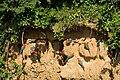 Ara chloropterus -Peru -clay lick-8.jpg