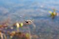 Araneus diadematus! (4665753721).jpg