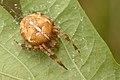 Araneus diadematus - Keila.jpg