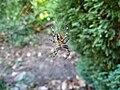 Araneus diadematus in a garden orb web.jpg