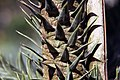 Araucaria araucana 9zz.jpg