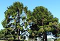 Araucaria bidwilli (Bunya).jpg