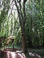 Arboretum des Barres-fagus sylvatica cv. pendula-1941.JPG