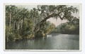 Arch Oak on the Tomoka, Florida (NYPL b12647398-73866).tiff