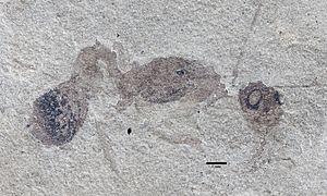 Archimyrmex - A. rostratus holotype