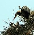 Ardea herodias nest 5-09-08-2.jpg