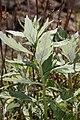 Artemisia suksdorfii 6619.JPG