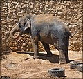 Asian-Elephant-Jerusalem-Jerusalem-Biblical-Zoo-IZE-297.jpg