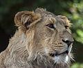 Asian Lion (4872121421).jpg
