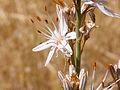Asphodelus aestivus Flor 2012-6-30 RioMontoro SierraMadrona.jpg