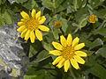 Asteraceae - Arnica nevadensis.jpg