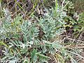 Astragalus vesicarius subsp. vesicarius sl8.jpg