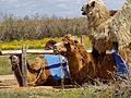 Astrakhan Oblast camels P5101084 2475.jpg