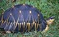 Astrochelys radiata (10379061003).jpg