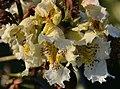 Atlas roslin pl Surmia bignoniowa 10321 6636.jpg