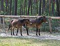 Augustdorf - 2016-05-21 - LIP-002 Exmoor-Ponys (044).jpg