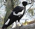 Australian Magpie Side.JPG