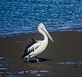 Australian pelican Schultz Canal Nudgee Beach Bramble Bay Queensland P1380134.jpg