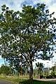 Búcaro (Erythrina fusca) (14700203771).jpg